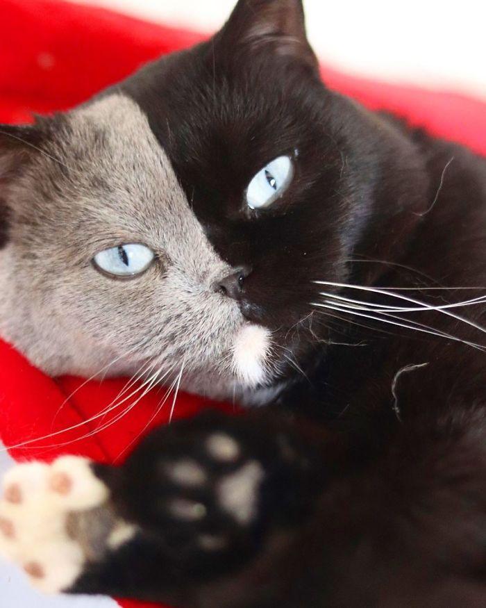 10 - Gato com rosto de cores divididas torna-se pai de gatinhos em cada uma de suas cores