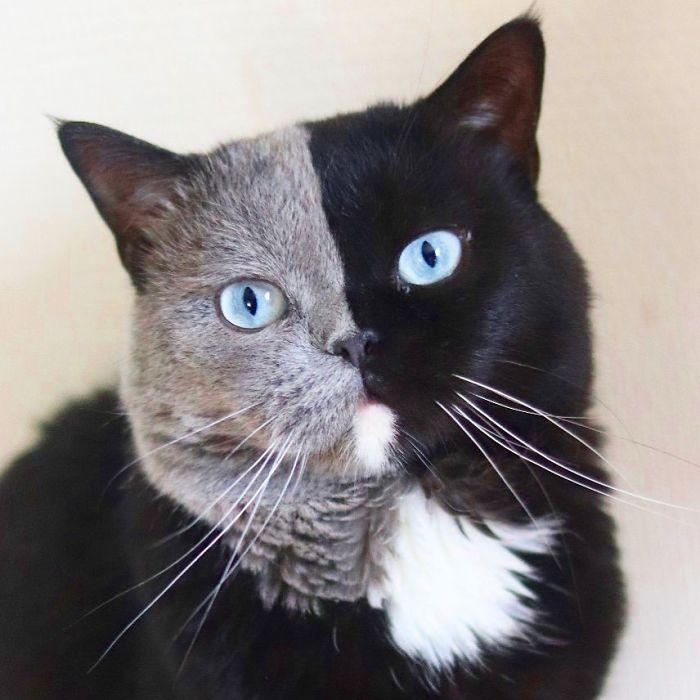 2 2 - Gato com rosto de cores divididas torna-se pai de gatinhos em cada uma de suas cores