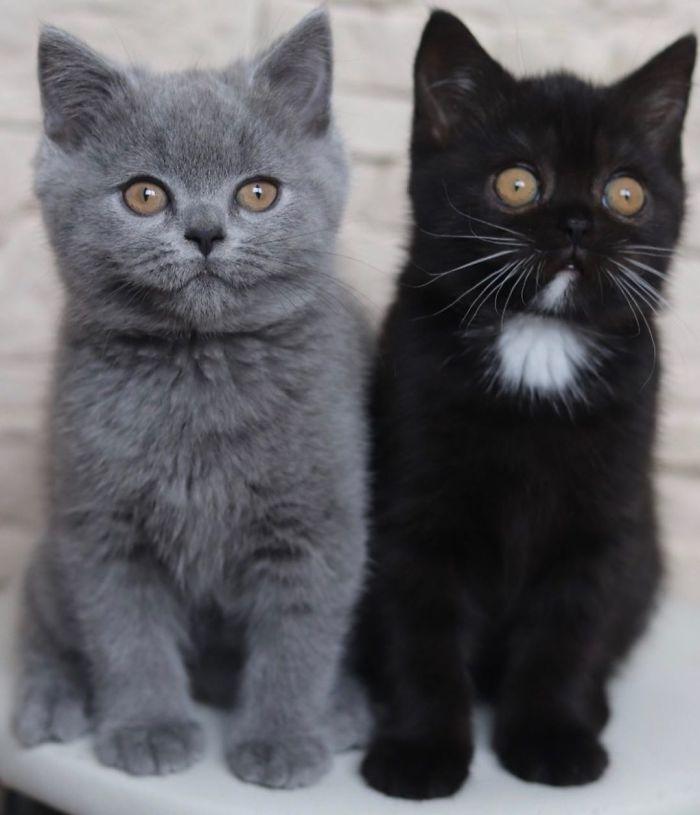 3 2 - Gato com rosto de cores divididas torna-se pai de gatinhos em cada uma de suas cores