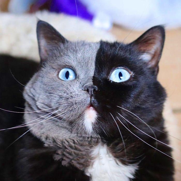 5 1 - Gato com rosto de cores divididas torna-se pai de gatinhos em cada uma de suas cores
