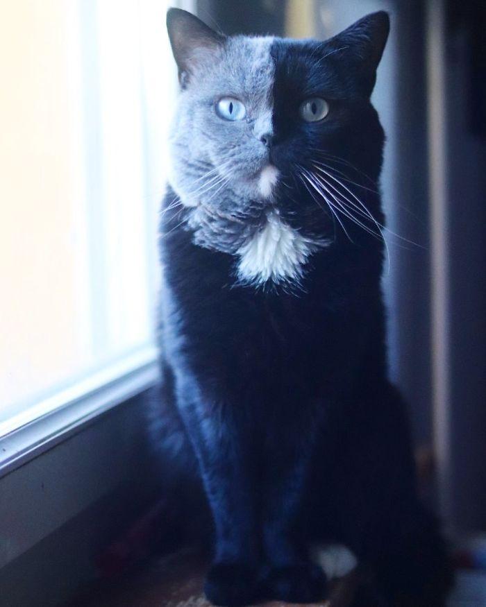 6 1 - Gato com rosto de cores divididas torna-se pai de gatinhos em cada uma de suas cores