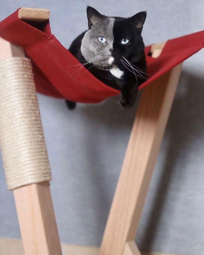 7 - Gato com rosto de cores divididas torna-se pai de gatinhos em cada uma de suas cores