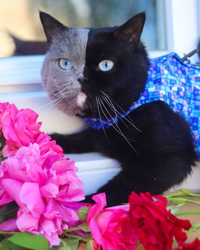 8 - Gato com rosto de cores divididas torna-se pai de gatinhos em cada uma de suas cores