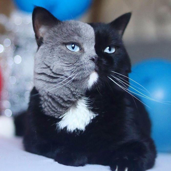 9 - Gato com rosto de cores divididas torna-se pai de gatinhos em cada uma de suas cores