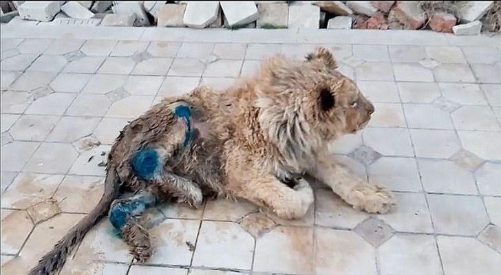 leonciono0001 - Eles quebraram suas pernas para impedir que ele fugisse dos turistas que o fotografavam. Simba já voltou a andar