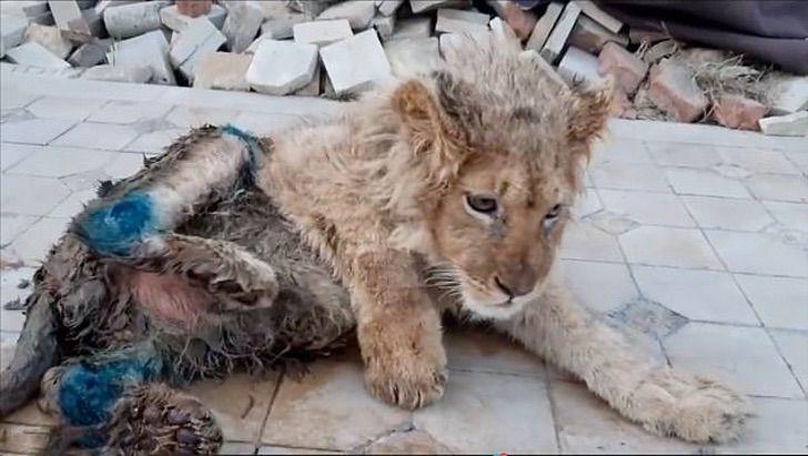 leonciono0002 - Eles quebraram suas pernas para impedir que ele fugisse dos turistas que o fotografavam. Simba já voltou a andar