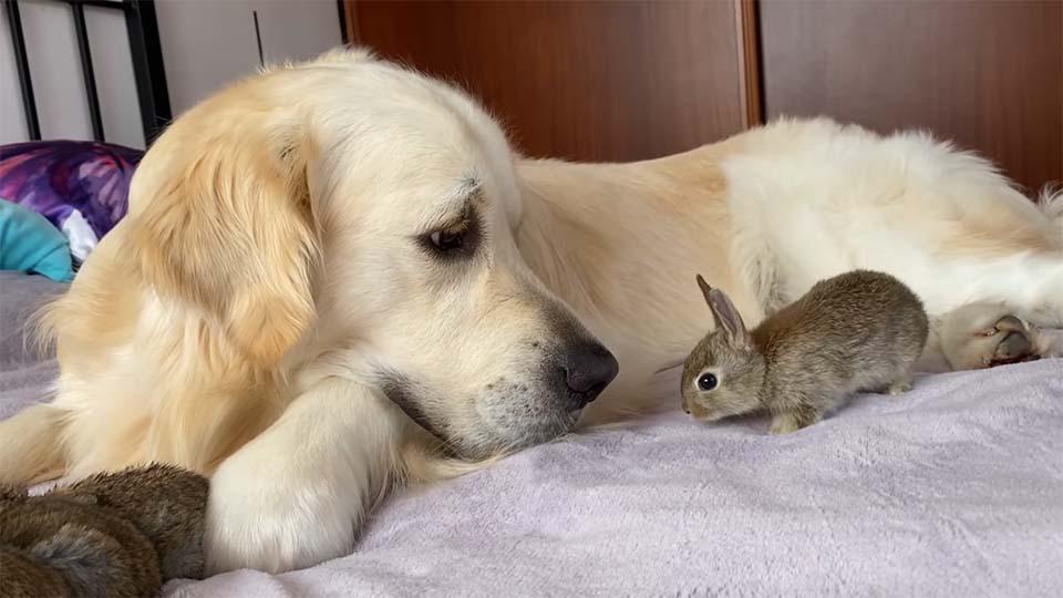 1 1 - Filhotinhos de coelho acham que o Golden Retriever é seu pai e se aninham debaixo dele o dia todo