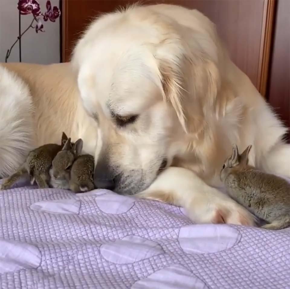 2 - Filhotinhos de coelho acham que o Golden Retriever é seu pai e se aninham debaixo dele o dia todo