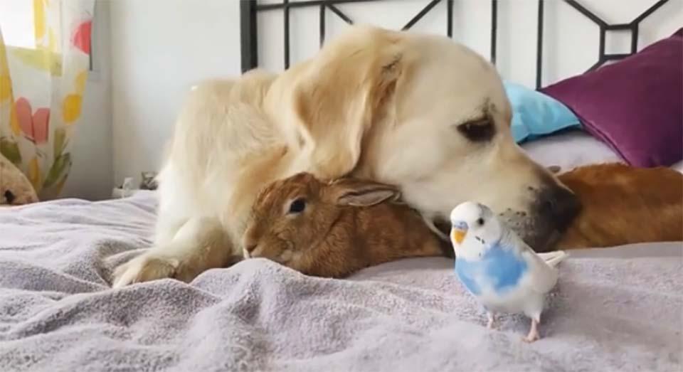 4 - Filhotinhos de coelho acham que o Golden Retriever é seu pai e se aninham debaixo dele o dia todo