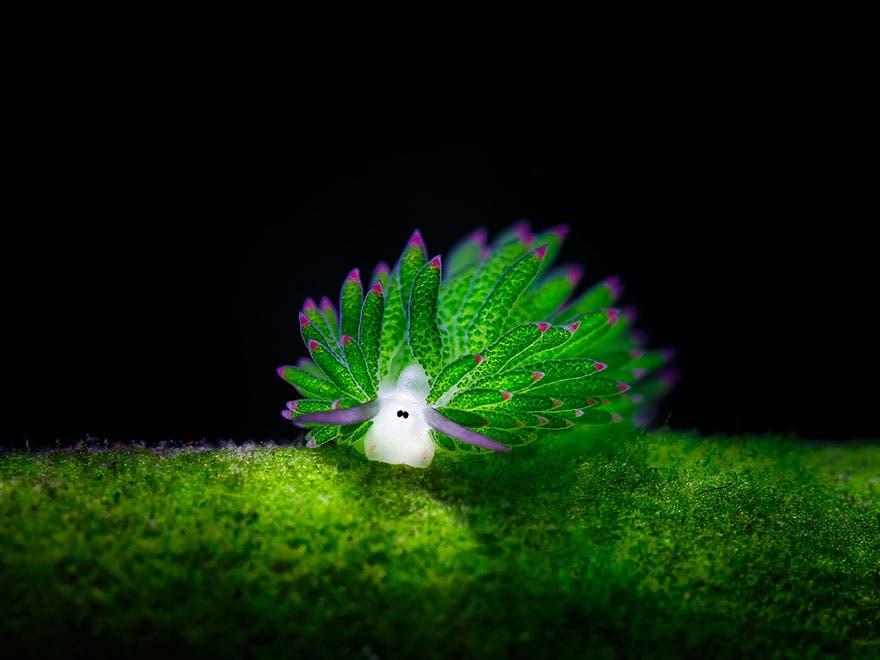 """leaf sheep sea slug costasiella kuroshimae 1 - Conheça a simpática """"Ovelha de folha"""": o único animal que pode fotossintetizar"""