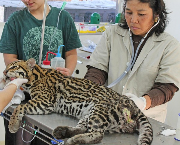 """4 - Veterinário descreve o árduo trabalho de mais de 12h  para resgatar animais no Pantanal: """"Ainda não é suficiente"""""""