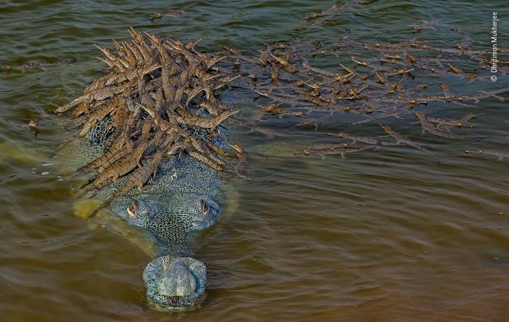 Eg6kbvBWAAE3jQg - O pai crocodilo e seus mais de 100 bebês estão concorrendo para a foto do ano.