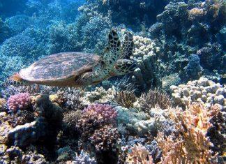 turtle ocean sea meeresbewohner underwater red sea coral diving tortoise 696x522 1 324x235 - Início