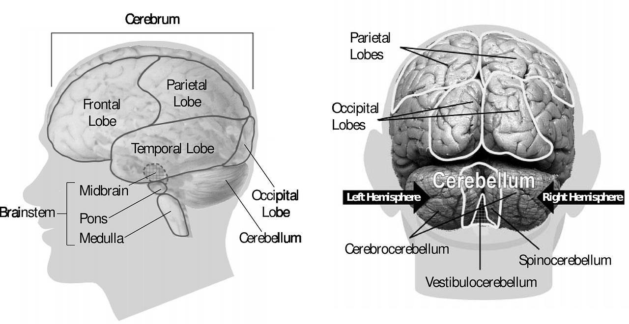brain 148131 1280 - Uma varredura cerebral revelou que um estudante universitário não tinha cérebro.