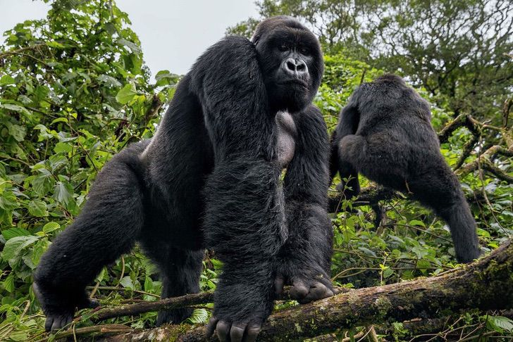 gorila huerfano pasea selva aferrado firmeza cuidador se transformo familia 2 - Gorila órfão carente agarra-se firmemente a seu zelador que se tornou sua família