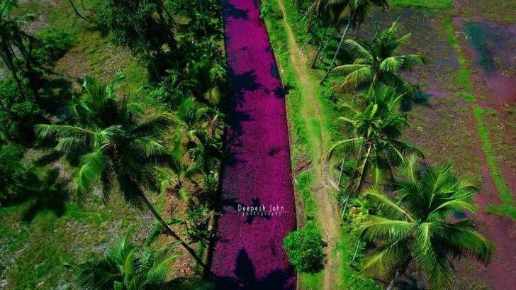 1 1 8 - Na Índia, esse rio foi tingido de rosa pelo repentino crescimento de flores. Uma paisagem excepcional