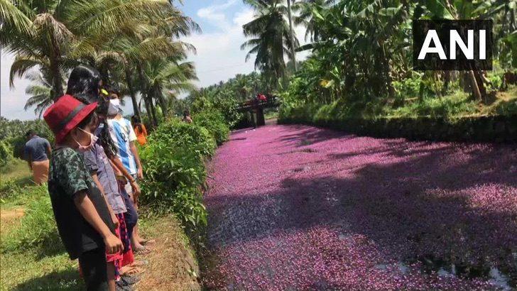 3 7 - Na Índia, esse rio foi tingido de rosa pelo repentino crescimento de flores. Uma paisagem excepcional