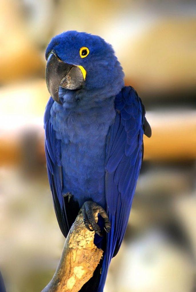 blue macaw 687098 960 720 686x1024 1 - Apesar dos incêndios, as araras-azuis continuam habitando o Pantanal brasileiro. Elas não desistem