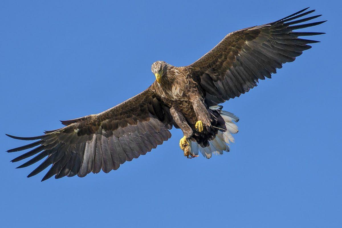 eagle 1753002 1280 scaled - Galinha luta ferozmente contra uma águia que queria comer seus filhotes