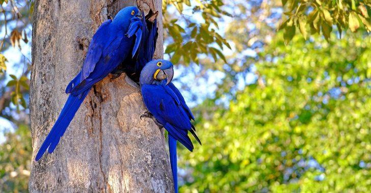 guacamayo azul incendio brasil 1 - Apesar dos incêndios, as araras-azuis continuam habitando o Pantanal brasileiro. Elas não desistem