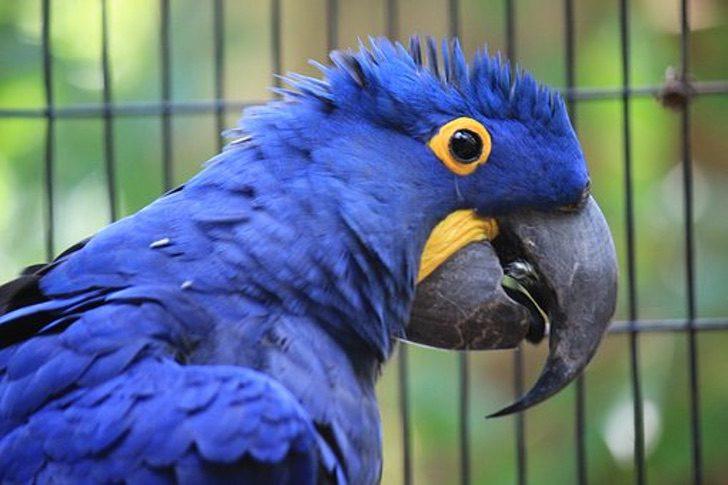 macaw hyacinth 2659041 340 - Apesar dos incêndios, as araras-azuis continuam habitando o Pantanal brasileiro. Elas não desistem