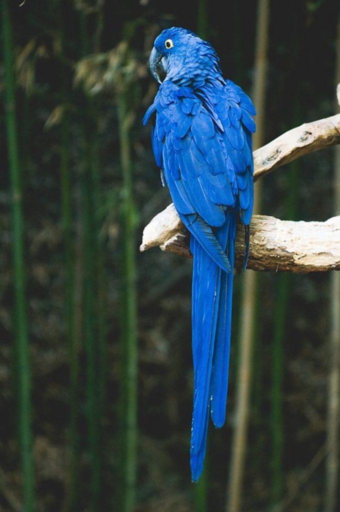 parrot 1031163 960 720 680x1024 1 - Apesar dos incêndios, as araras-azuis continuam habitando o Pantanal brasileiro. Elas não desistem