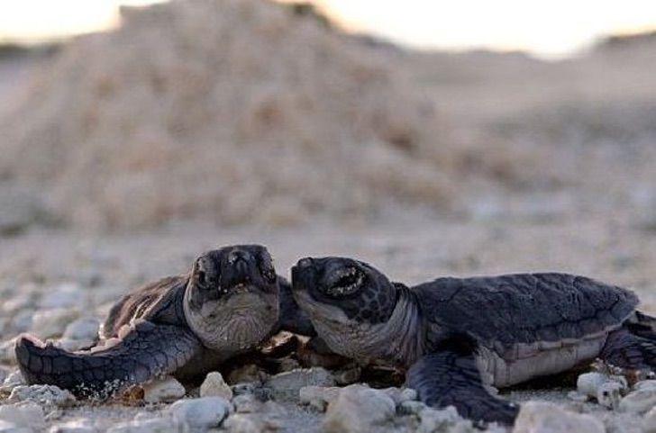 1 3 - A desova de tartarugas marinhas bate recorde em Cancún graças ao COVID-19. A falta de turistas ajudou