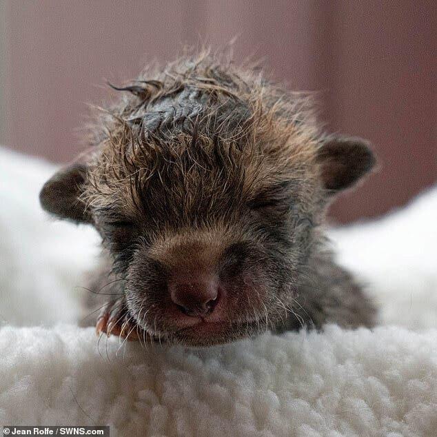 2 8 - Jovem agricultor faz cesariana em raposa sem vida e salva quatro filhotes que ela esperava