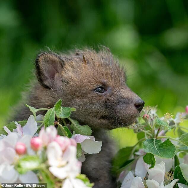 3 6 - Jovem agricultor faz cesariana em raposa sem vida e salva quatro filhotes que ela esperava