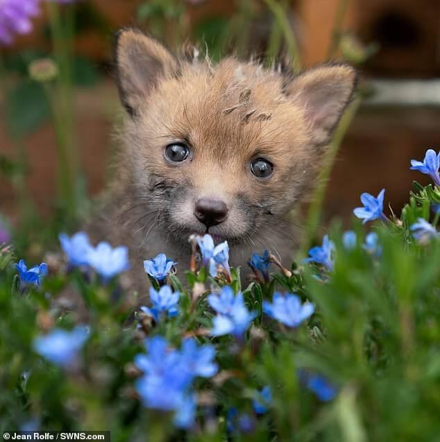 5 2 - Jovem agricultor faz cesariana em raposa sem vida e salva quatro filhotes que ela esperava