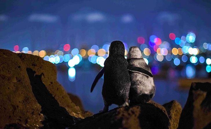 pinguinos abrazados0000 - A famosa foto de um pinguim viúvo sendo consolado ganhou um prêmio internacional.