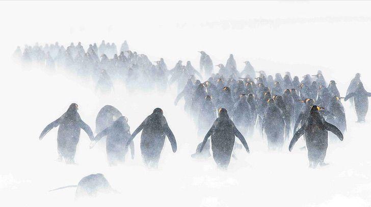 pinguinos abrazados0004 - A famosa foto de um pinguim viúvo sendo consolado ganhou um prêmio internacional.