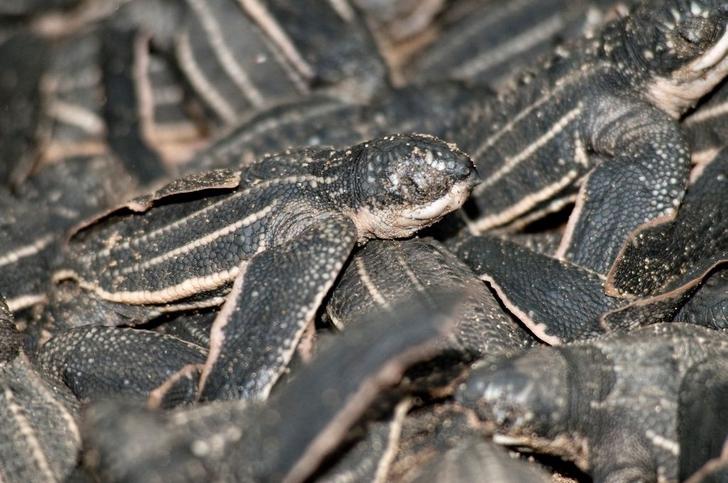 tortuga cancun mexico nacimiento marinas coronavirus0006 - A desova de tartarugas marinhas bate recorde em Cancún graças ao COVID-19. A falta de turistas ajudou