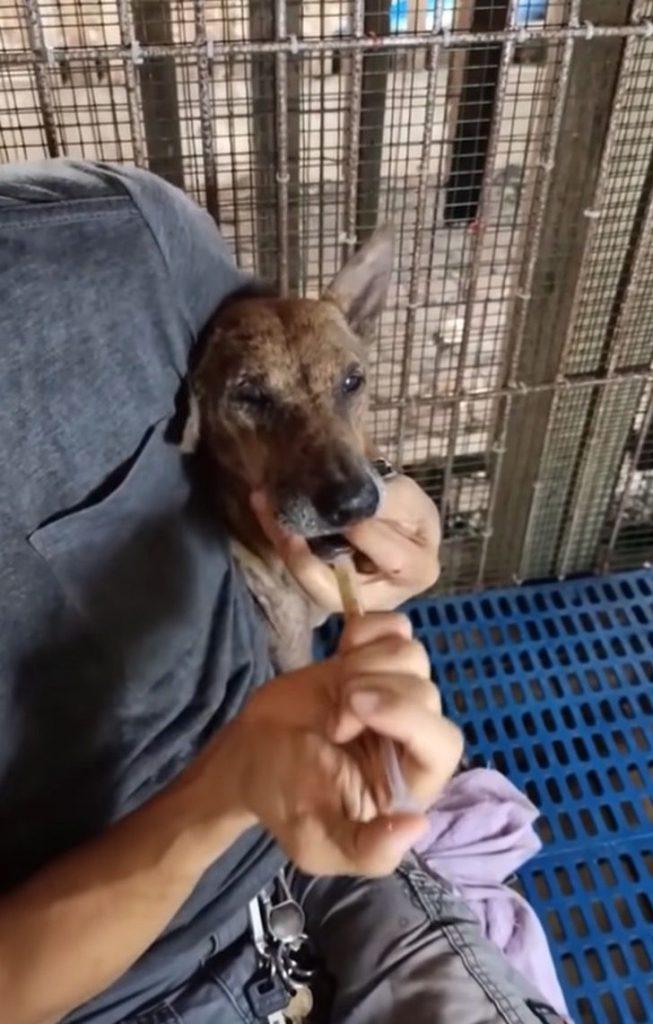 4 - Espancada, grávida e deitada na estrada, cachorrinha lutou para sobreviver e teve um final feliz (Vídeo)