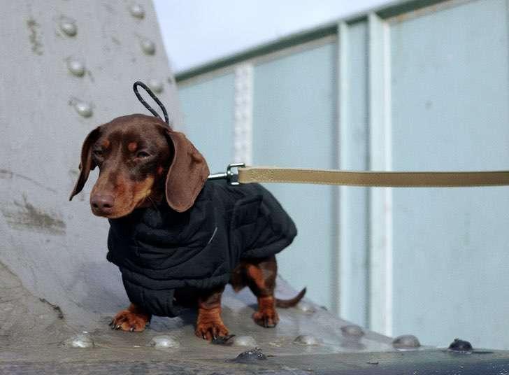 6 - A Zara lança sua primeira coleção de roupas exclusivas para cães. Eles também serão ícones da moda