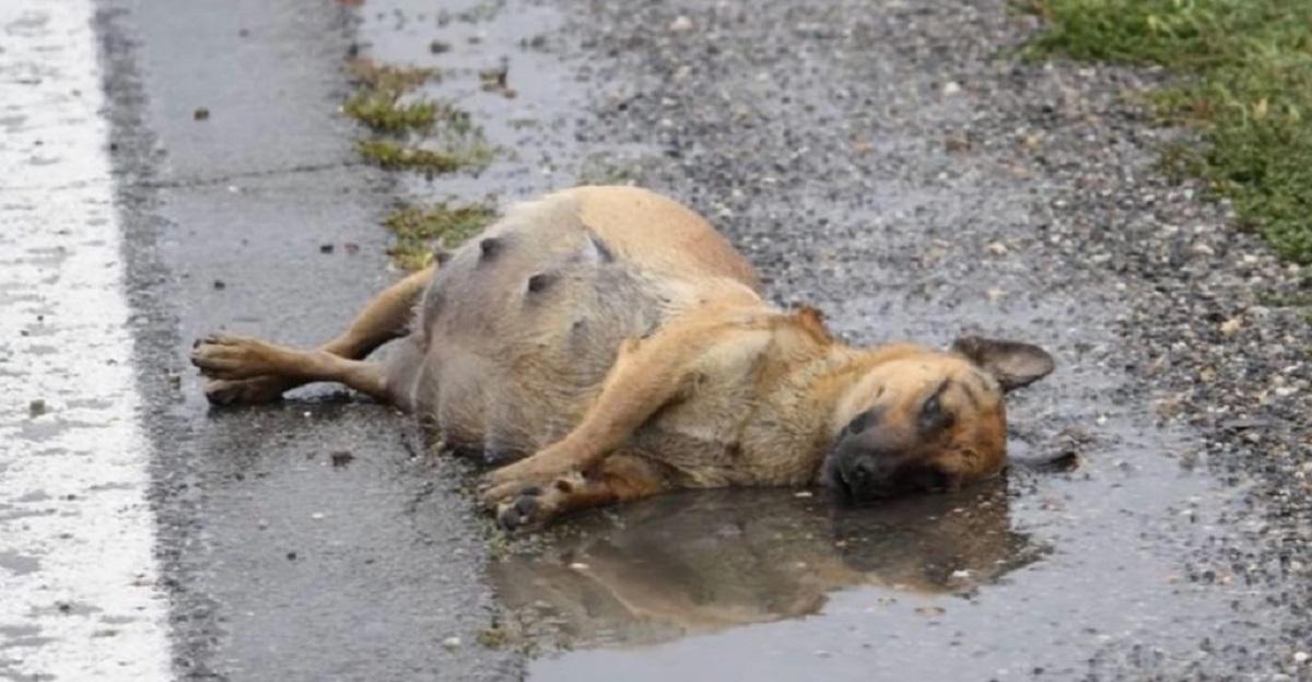 capa - Espancada, grávida e deitada na estrada, cachorrinha lutou para sobreviver e teve um final feliz (Vídeo)