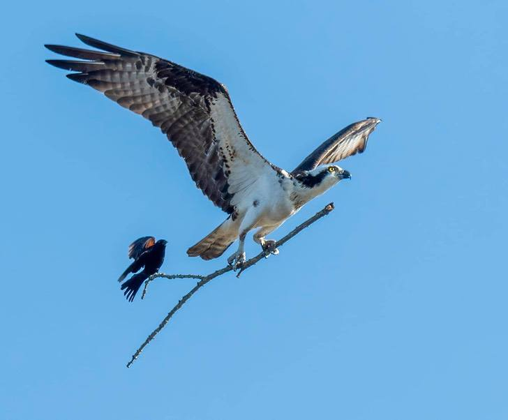 3 9 - Fotógrafa capturou o momento exato em que uma águia carrega um pequeno pássaro em um galho