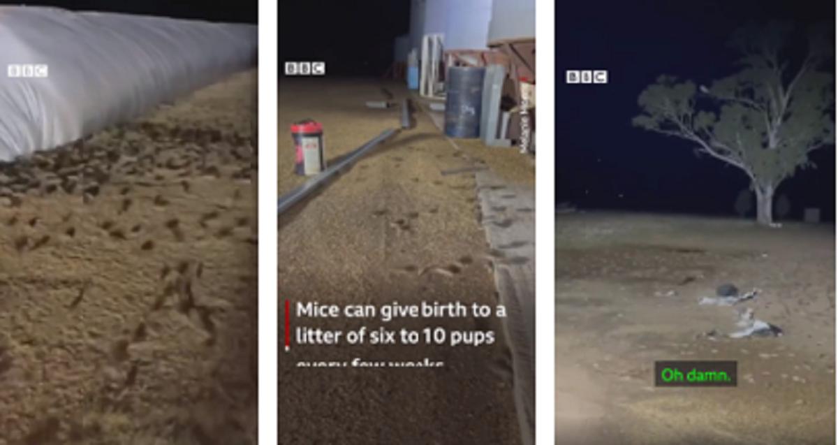 """Captura de Tela 182 - Austrália enfrenta uma peste de ratos sem precedentes: """"Andam no travesseiro"""" - (vídeo)"""