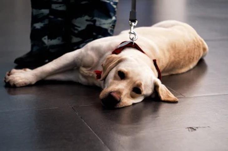 1 5 - Cão de apoio emocional resgatou uma mulher que pensava em tirar sua vida. Ele a atraiu com sua simpatia