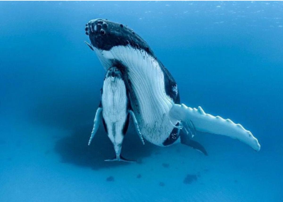 Captura de Tela 360 - O fotógrafo capturou a mãe baleia nadando com seu filhote sob a nadadeira. Aproxime-se deles