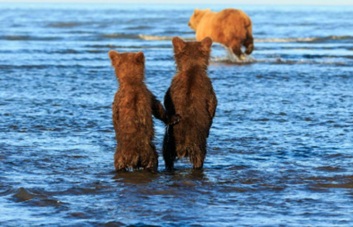 Captura de Tela 672 - O fotógrafo captura dois irmãos ursos agarrados um ao outro enquanto a mãe caça. Sua inocência toca