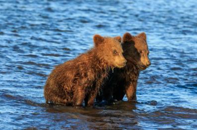 Captura de Tela 673 - O fotógrafo captura dois irmãos ursos agarrados um ao outro enquanto a mãe caça. Sua inocência toca