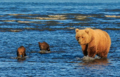 Captura de Tela 674 - O fotógrafo captura dois irmãos ursos agarrados um ao outro enquanto a mãe caça. Sua inocência toca