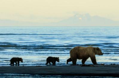 Captura de Tela 675 - O fotógrafo captura dois irmãos ursos agarrados um ao outro enquanto a mãe caça. Sua inocência toca